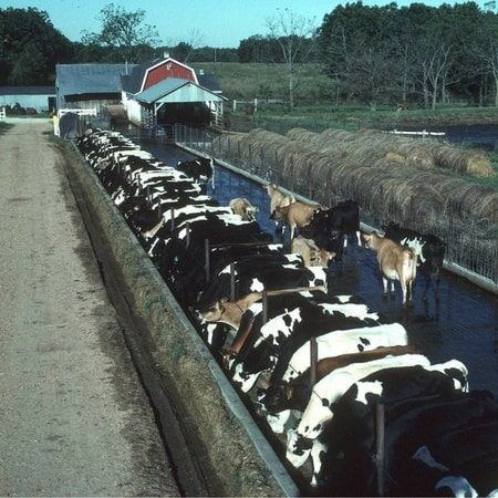 Dairy cows in a concentrated animal feeding operation